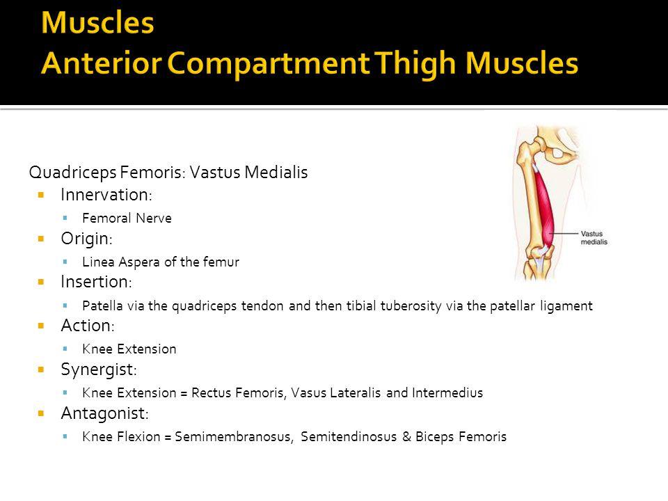 Quadriceps Femoris: Vastus Medialis  Innervation:  Femoral Nerve  Origin:  Linea Aspera of the femur  Insertion:  Patella via the quadriceps ten