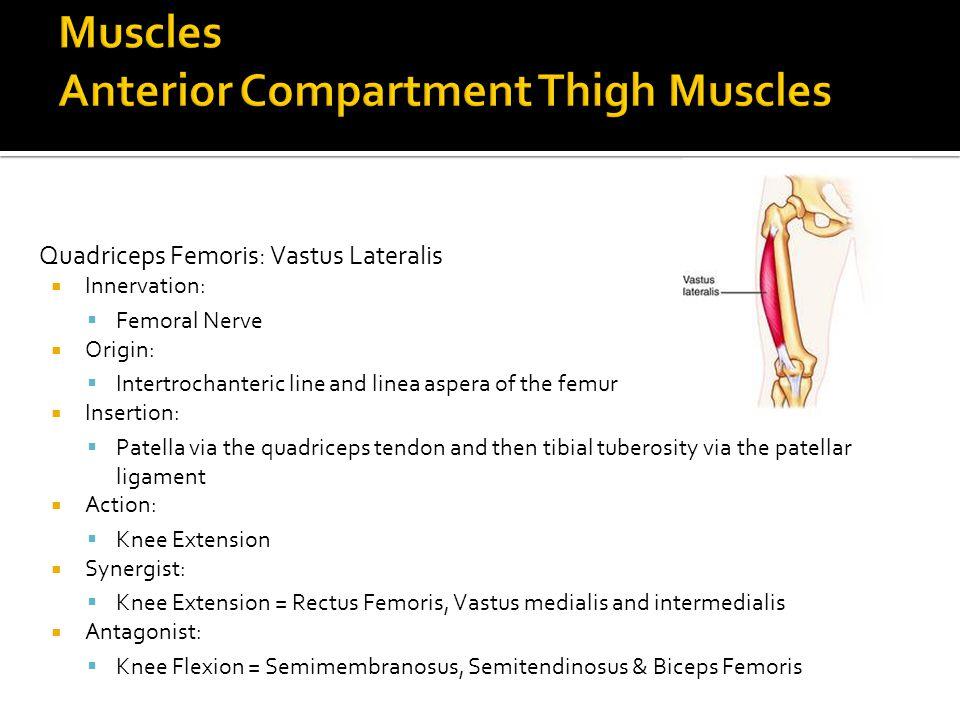 Quadriceps Femoris: Vastus Lateralis  Innervation:  Femoral Nerve  Origin:  Intertrochanteric line and linea aspera of the femur  Insertion:  Pa