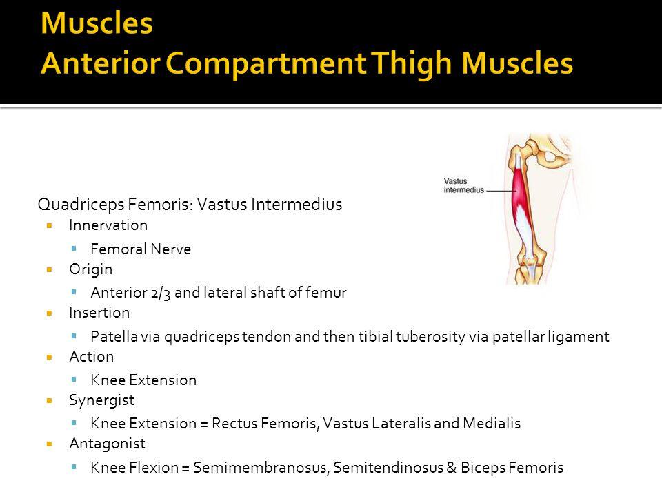 Quadriceps Femoris: Vastus Intermedius  Innervation  Femoral Nerve  Origin  Anterior 2/3 and lateral shaft of femur  Insertion  Patella via quad