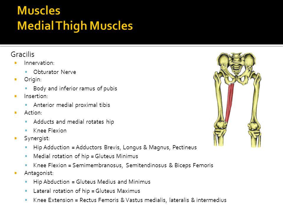 Gracilis  Innervation:  Obturator Nerve  Origin:  Body and inferior ramus of pubis  Insertion:  Anterior medial proximal tibis  Action:  Adduc