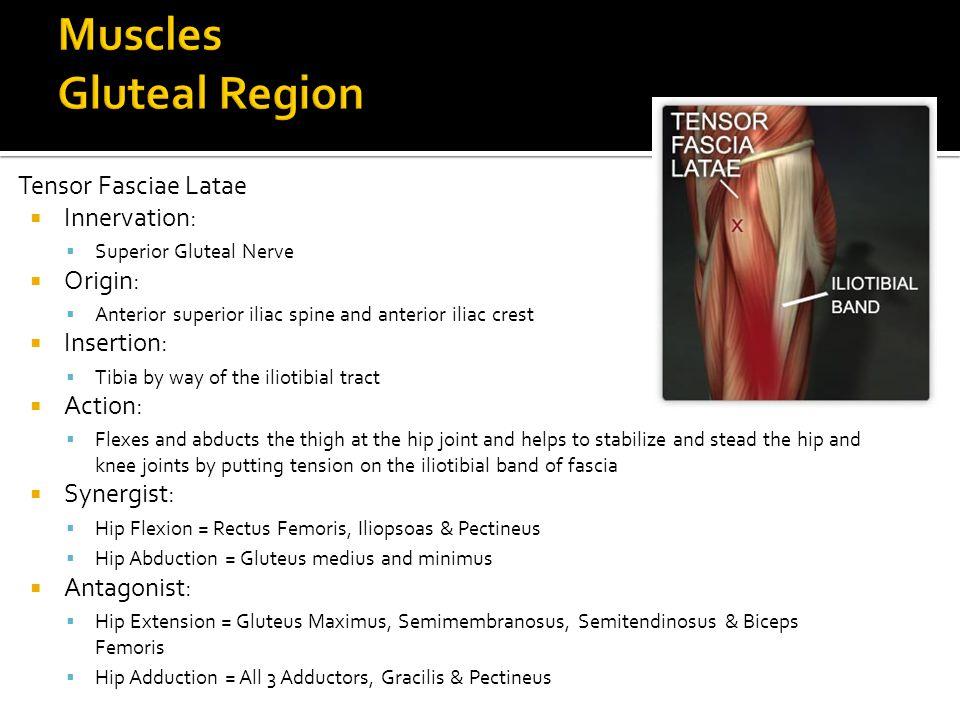 Tensor Fasciae Latae  Innervation:  Superior Gluteal Nerve  Origin:  Anterior superior iliac spine and anterior iliac crest  Insertion:  Tibia b