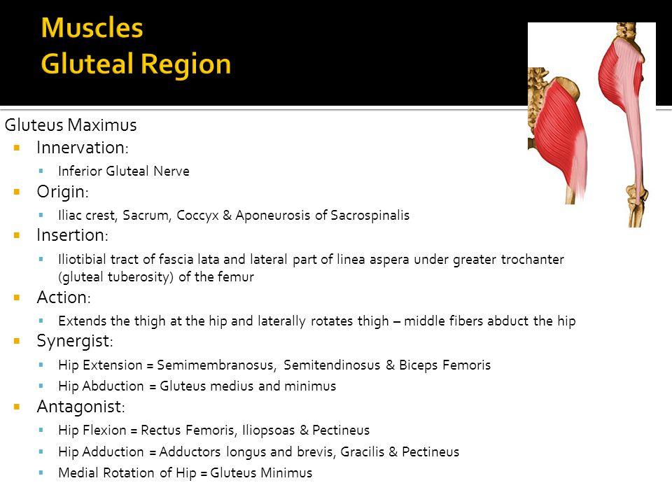 Gluteus Maximus  Innervation:  Inferior Gluteal Nerve  Origin:  Iliac crest, Sacrum, Coccyx & Aponeurosis of Sacrospinalis  Insertion:  Iliotibi