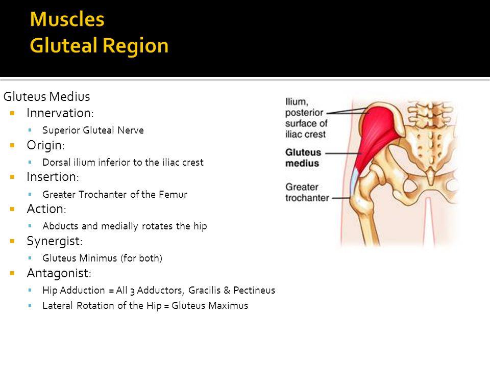 Gluteus Medius  Innervation:  Superior Gluteal Nerve  Origin:  Dorsal ilium inferior to the iliac crest  Insertion:  Greater Trochanter of the F