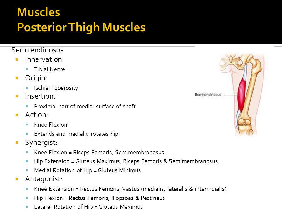 Semitendinosus  Innervation:  Tibial Nerve  Origin:  Ischial Tuberosity  Insertion:  Proximal part of medial surface of shaft  Action:  Knee F
