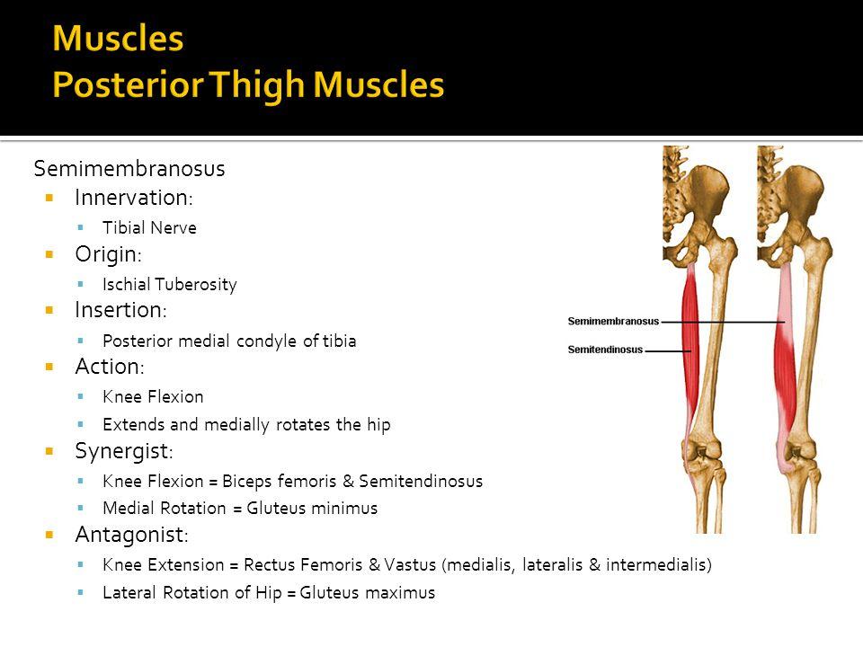 Semimembranosus  Innervation:  Tibial Nerve  Origin:  Ischial Tuberosity  Insertion:  Posterior medial condyle of tibia  Action:  Knee Flexion