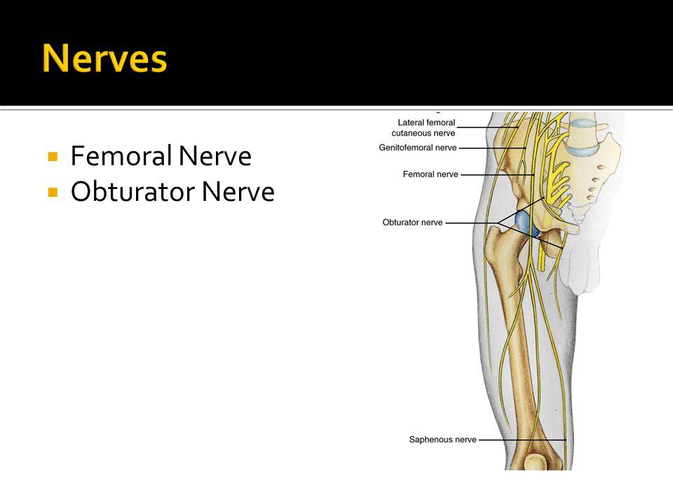  Femoral Nerve  Obturator Nerve