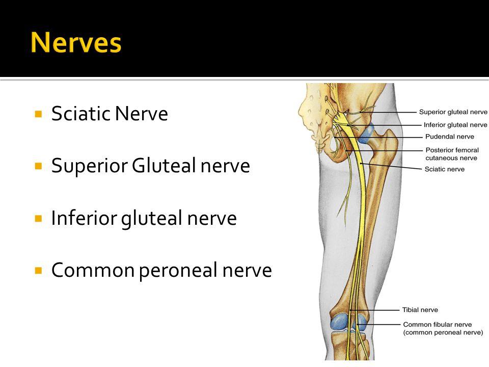  Sciatic Nerve  Superior Gluteal nerve  Inferior gluteal nerve  Common peroneal nerve