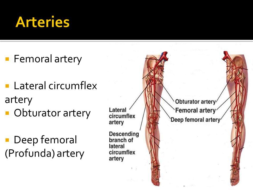  Femoral artery  Lateral circumflex artery  Obturator artery  Deep femoral (Profunda) artery