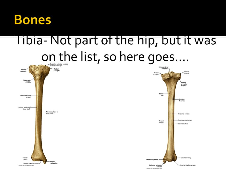 Tibia- Not part of the hip, but it was on the list, so here goes….