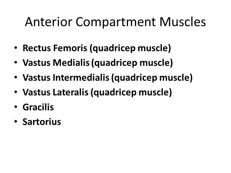 Anterior Compartment Muscles Rectus Femoris (quadricep muscle) Vastus Medialis (quadricep muscle) Vastus Intermedialis (quadricep muscle) Vastus Later