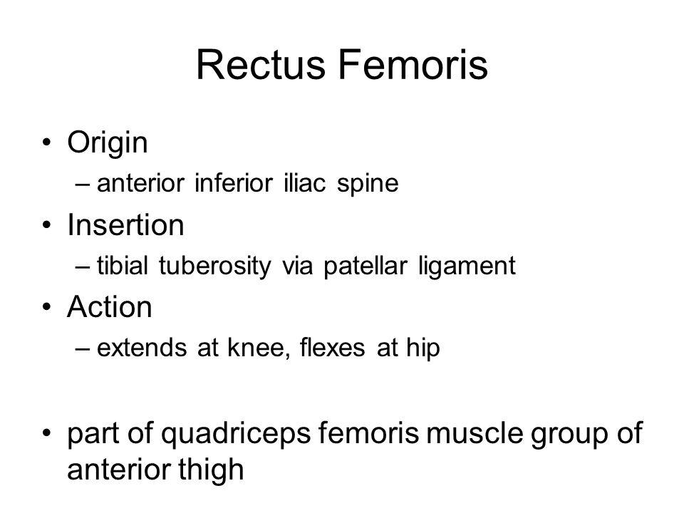 Rectus Femoris Origin –anterior inferior iliac spine Insertion –tibial tuberosity via patellar ligament Action –extends at knee, flexes at hip part of