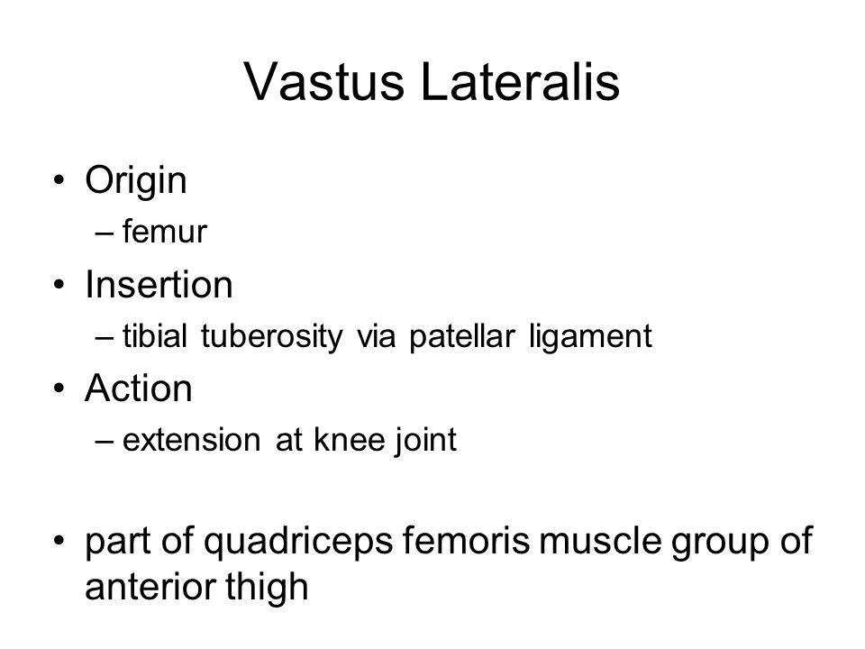 Vastus Lateralis Origin –femur Insertion –tibial tuberosity via patellar ligament Action –extension at knee joint part of quadriceps femoris muscle gr