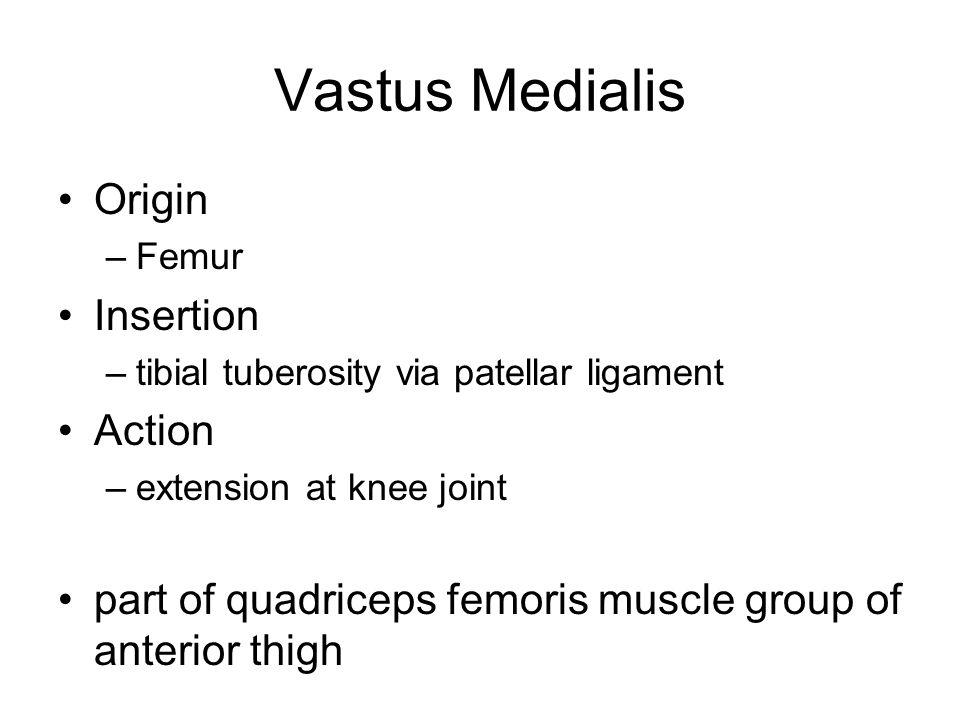 Vastus Medialis Origin –Femur Insertion –tibial tuberosity via patellar ligament Action –extension at knee joint part of quadriceps femoris muscle gro