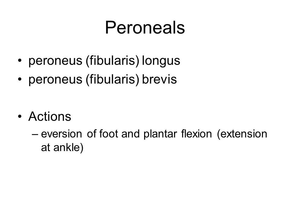 Peroneals peroneus (fibularis) longus peroneus (fibularis) brevis Actions –eversion of foot and plantar flexion (extension at ankle)