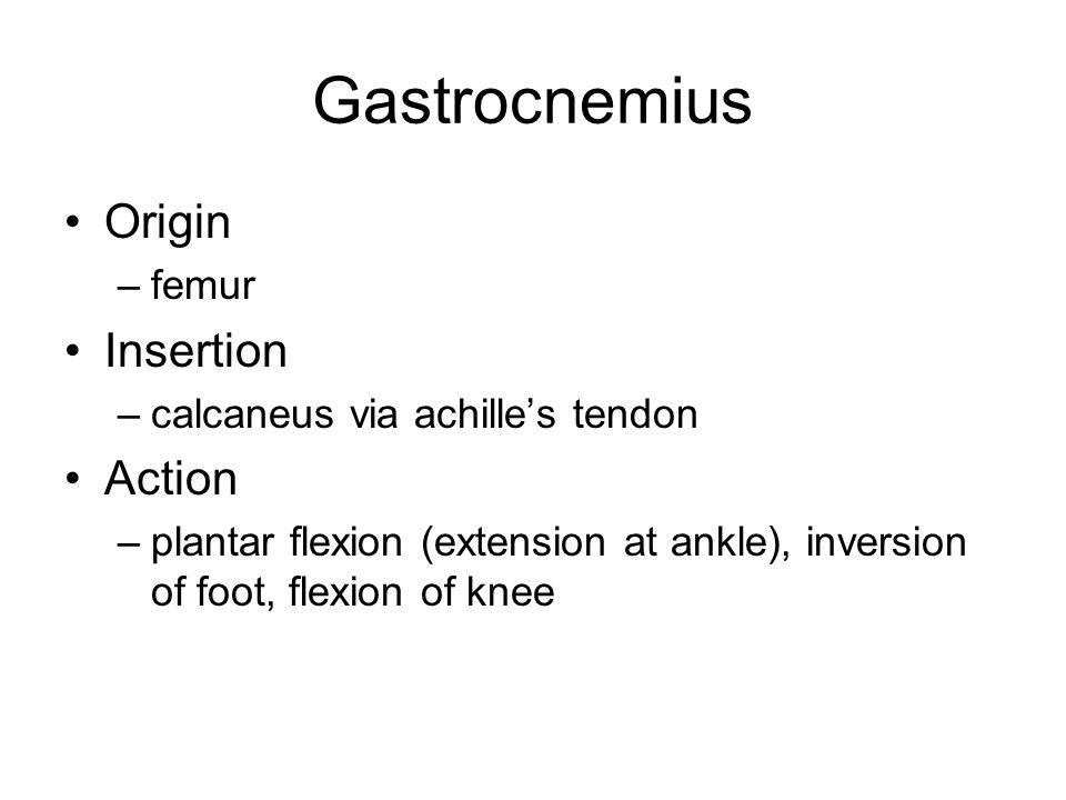 Gastrocnemius Origin –femur Insertion –calcaneus via achille's tendon Action –plantar flexion (extension at ankle), inversion of foot, flexion of knee