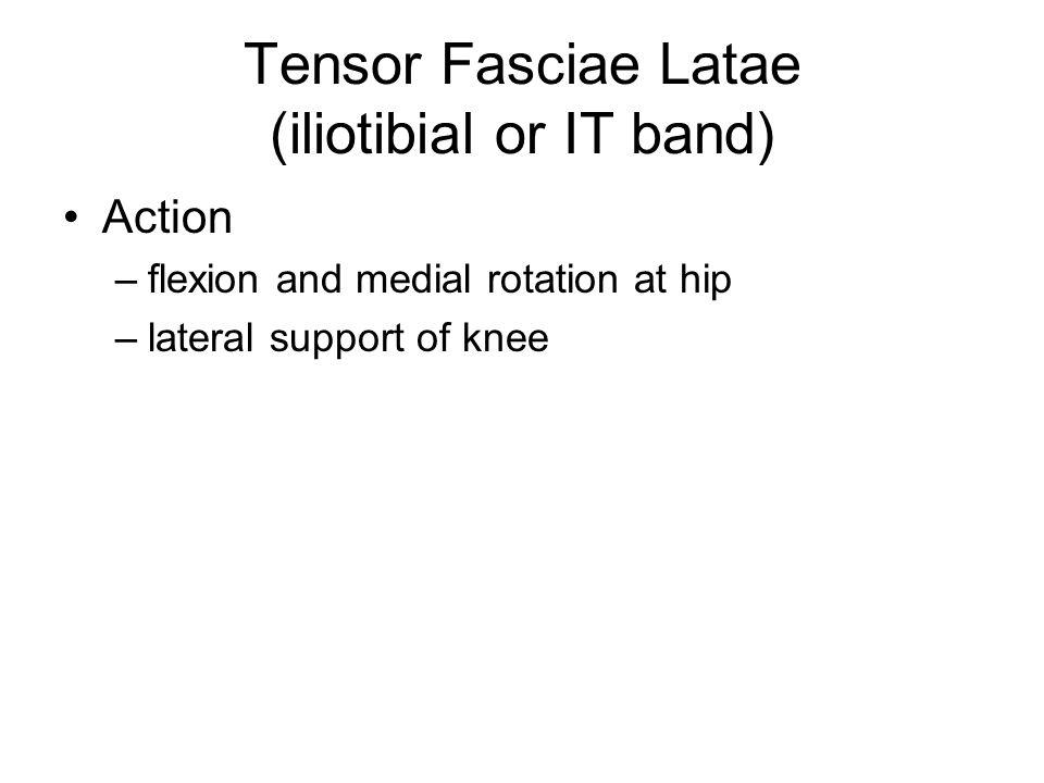 Vastus Intermedius Origin –femur Insertion –tibial tuberosity via patellar ligament Action –extension at knee joint part of quadriceps femoris muscle group of anterior thigh