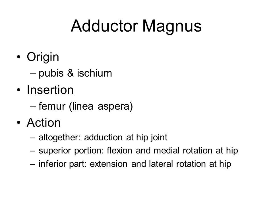 Adductor Magnus Origin –pubis & ischium Insertion –femur (linea aspera) Action –altogether: adduction at hip joint –superior portion: flexion and medi