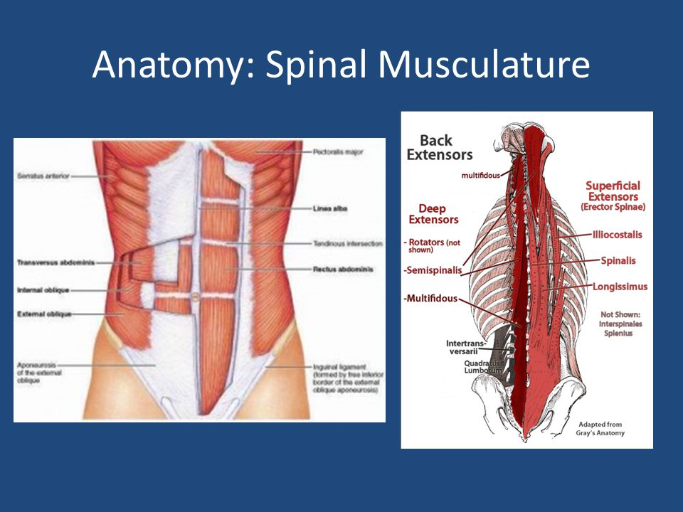Anatomy: Spinal Musculature