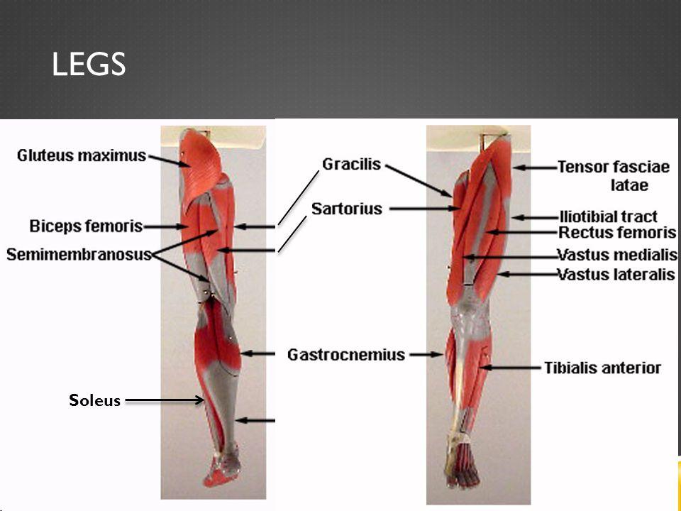 LEGS Soleus