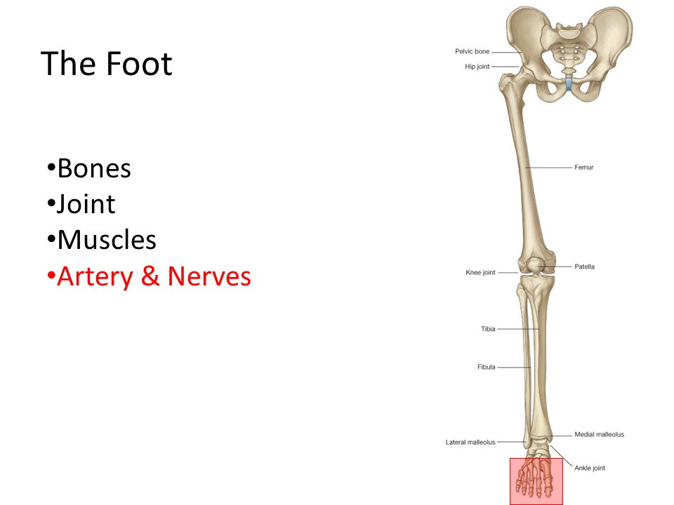 The Foot Bones Joint Muscles Artery & Nerves