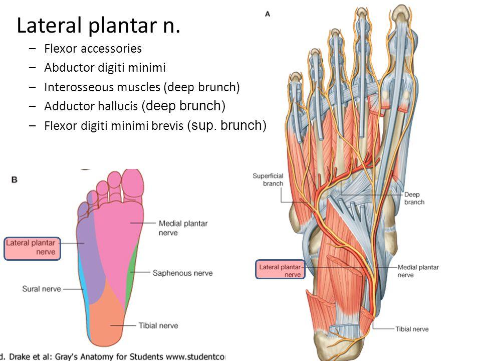 Lateral plantar n. –Flexor accessories –Abductor digiti minimi –Interosseous muscles (deep brunch) –Adductor hallucis (deep brunch) –Flexor digiti min
