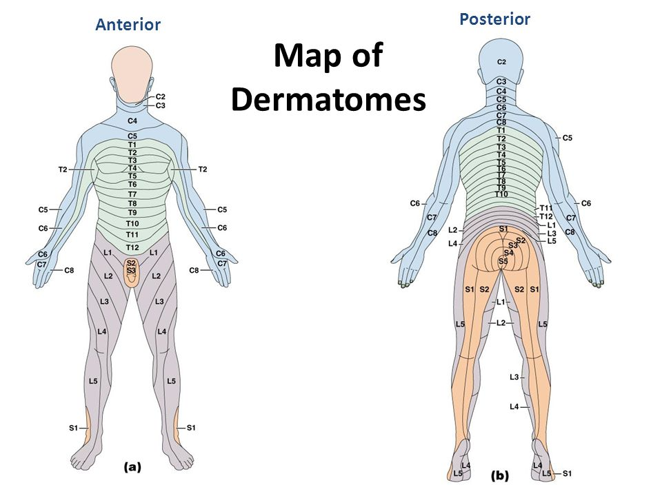 Posterior Map of Dermatomes Anterior