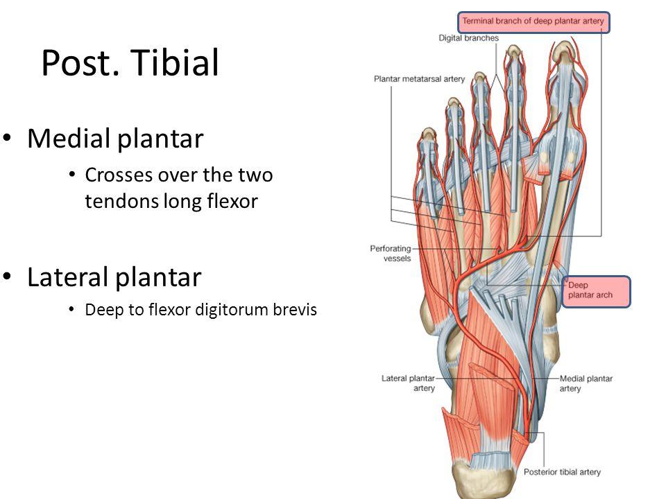 Post. Tibial Medial plantar Crosses over the two tendons long flexor Lateral plantar Deep to flexor digitorum brevis