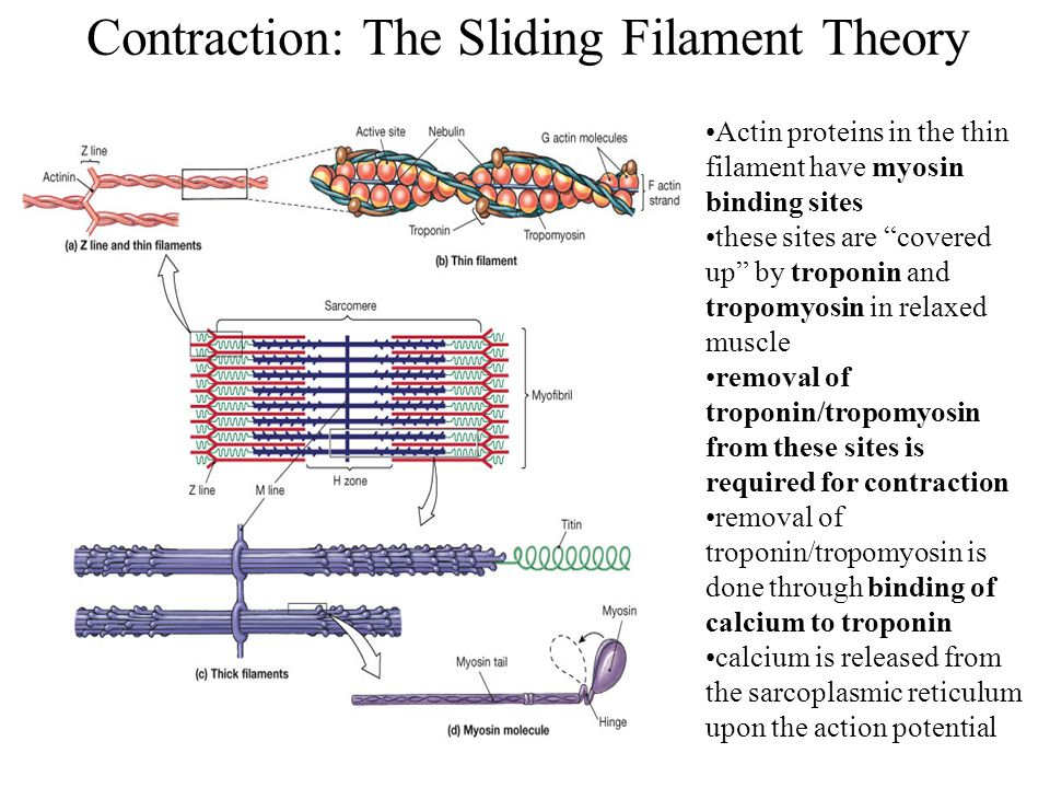 """Contraction: The Sliding Filament Theory Actin proteins in the thin filament have myosin binding sites these sites are """"covered up"""" by troponin and tr"""