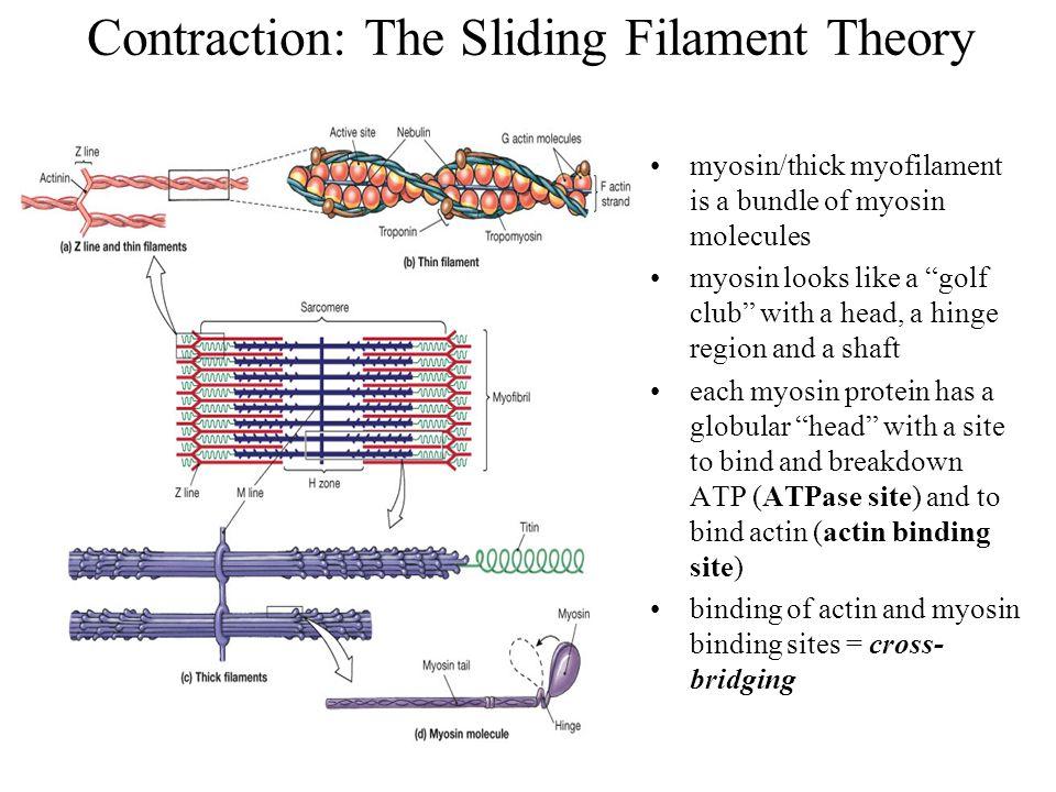 """myosin/thick myofilament is a bundle of myosin molecules myosin looks like a """"golf club"""" with a head, a hinge region and a shaft each myosin protein h"""