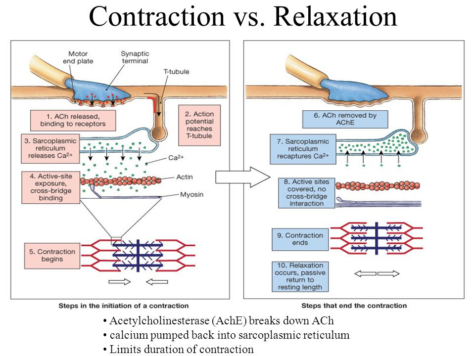 Contraction vs. Relaxation Acetylcholinesterase (AchE) breaks down ACh calcium pumped back into sarcoplasmic reticulum Limits duration of contraction