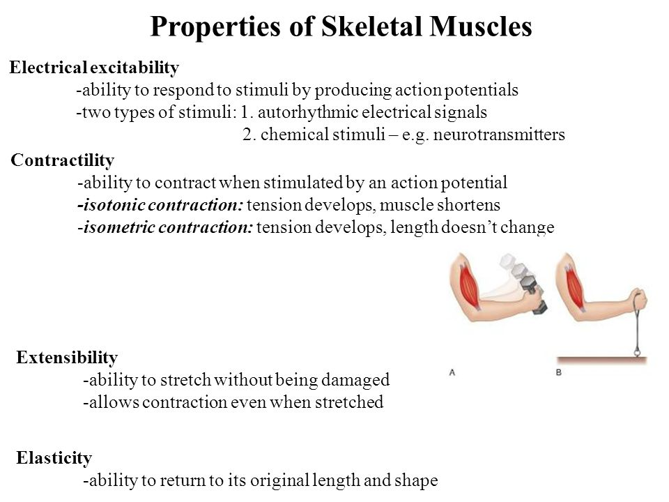 Properties of Skeletal Muscles Electrical excitability -ability to respond to stimuli by producing action potentials -two types of stimuli: 1. autorhy