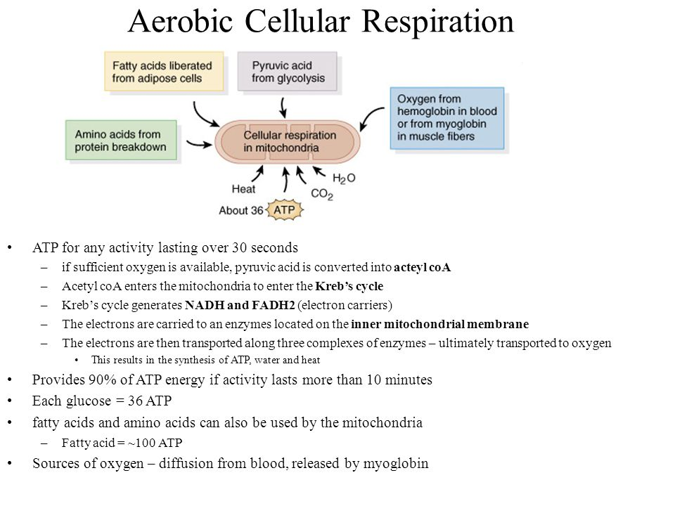 Aerobic Cellular Respiration ATP for any activity lasting over 30 seconds –if sufficient oxygen is available, pyruvic acid is converted into acteyl co