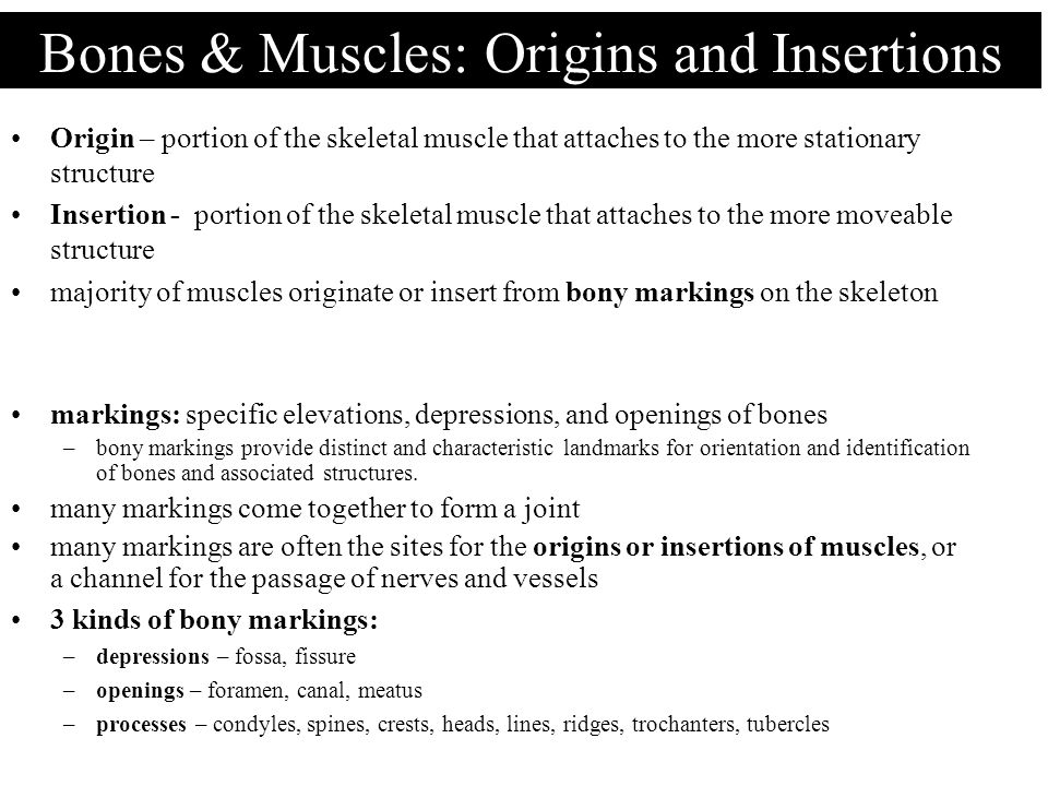 Bones & Muscles: Origins and Insertions Origin – portion of the skeletal muscle that attaches to the more stationary structure Insertion - portion of
