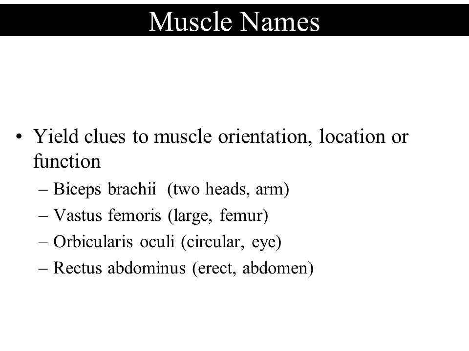 Muscle Names Yield clues to muscle orientation, location or function –Biceps brachii (two heads, arm) –Vastus femoris (large, femur) –Orbicularis ocul
