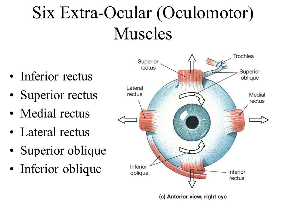 Six Extra-Ocular (Oculomotor) Muscles Inferior rectus Superior rectus Medial rectus Lateral rectus Superior oblique Inferior oblique