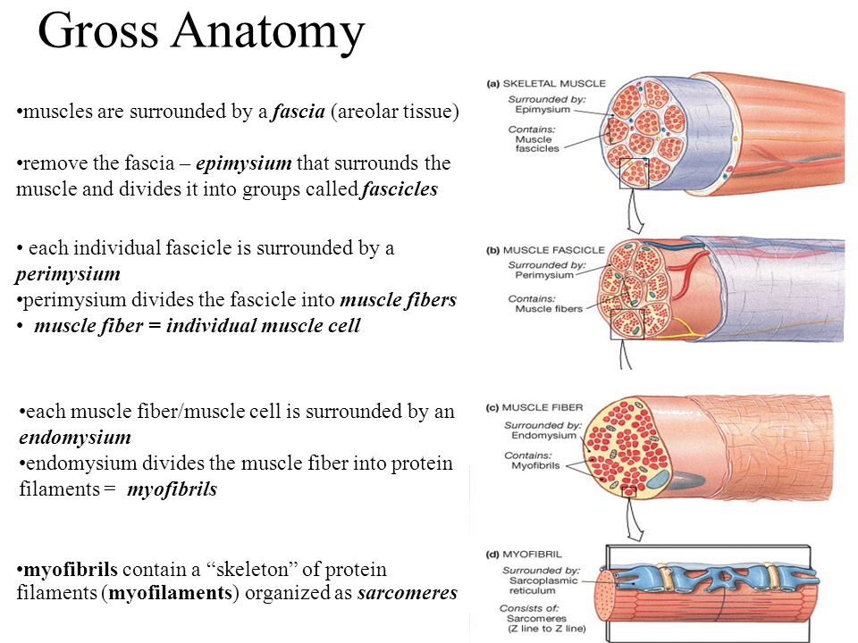 Gross Anatomy muscles are surrounded by a fascia (areolar tissue) remove the fascia – epimysium that surrounds the muscle and divides it into groups c