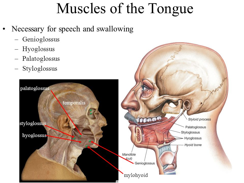 Muscles of the Tongue Necessary for speech and swallowing –Genioglossus –Hyoglossus –Palatoglossus –Styloglossus mylohyoid hyoglossus styloglossus pal