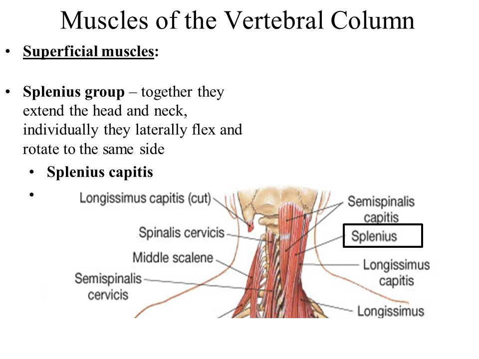Muscles of the Vertebral Column Superficial muscles: Splenius group – together they extend the head and neck, individually they laterally flex and rot