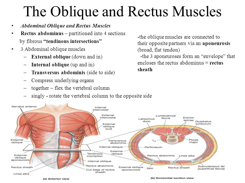 """The Oblique and Rectus Muscles Abdominal Oblique and Rectus Muscles Rectus abdominus – partitioned into 4 sections by fibrous """"tendinous intersections"""