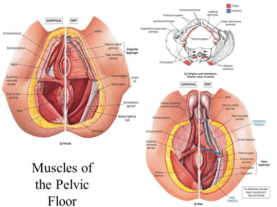 Female reproductive anatomy external