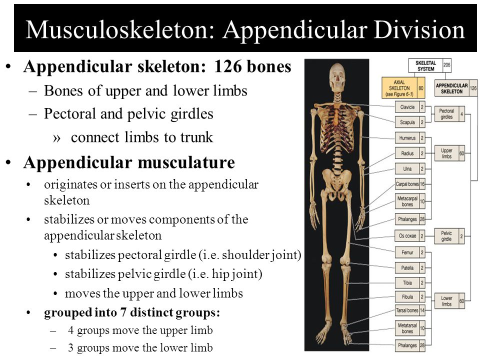 Musculoskeleton: Appendicular Division Appendicular skeleton: 126 bones –Bones of upper and lower limbs –Pectoral and pelvic girdles »connect limbs to