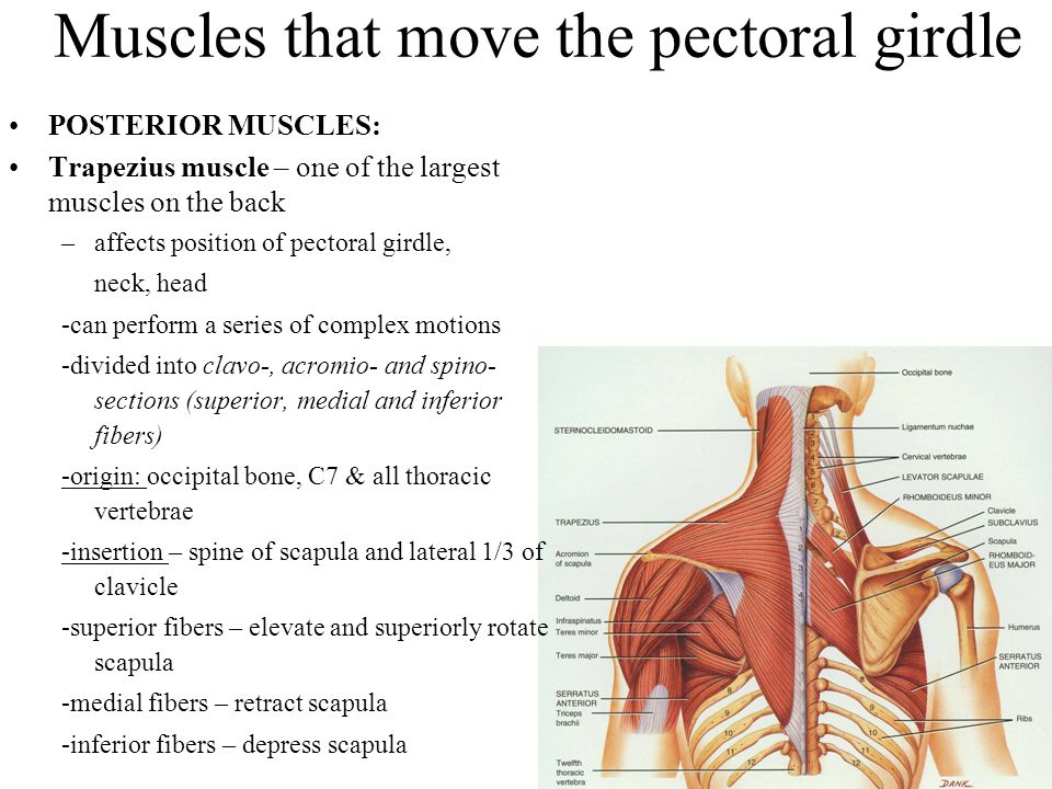 Muscles that move the pectoral girdle POSTERIOR MUSCLES: Trapezius muscle – one of the largest muscles on the back –affects position of pectoral girdl