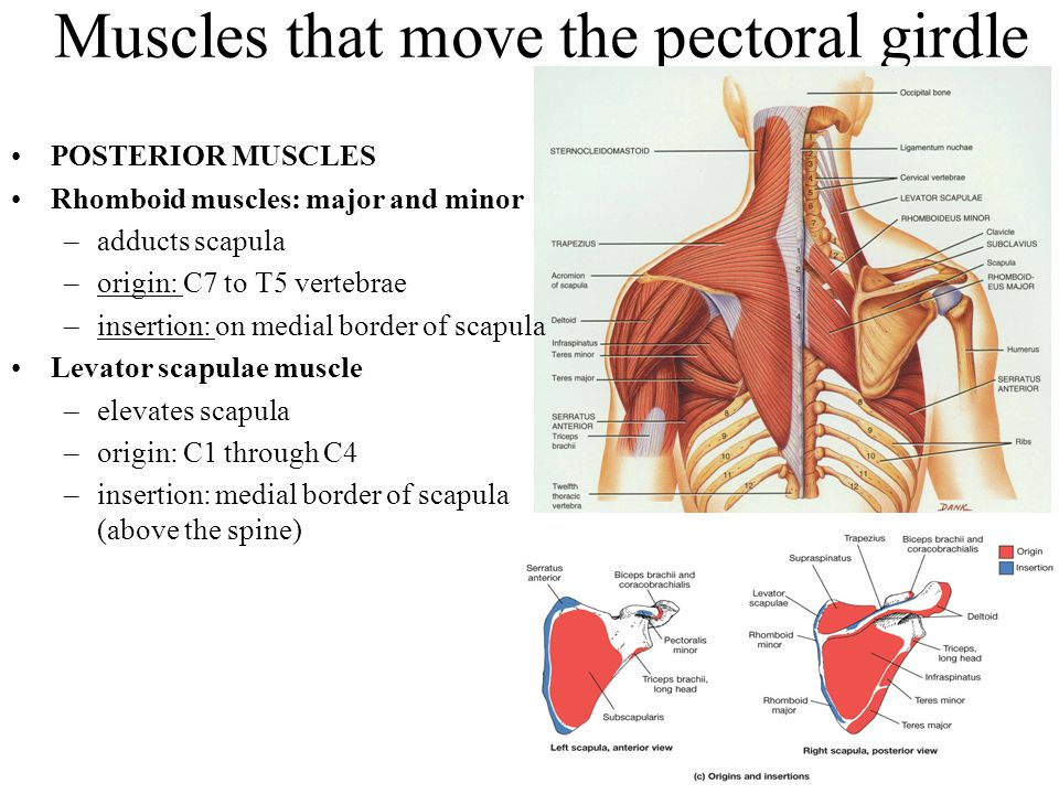 Muscles that move the pectoral girdle POSTERIOR MUSCLES Rhomboid muscles: major and minor –adducts scapula –origin: C7 to T5 vertebrae –insertion: on