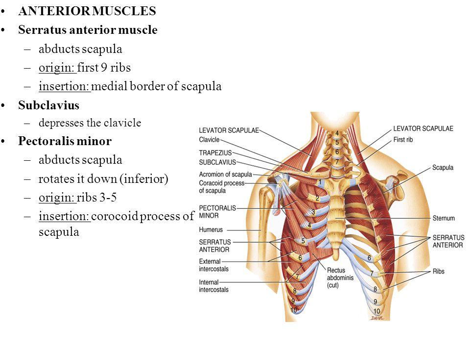 ANTERIOR MUSCLES Serratus anterior muscle –abducts scapula –origin: first 9 ribs –insertion: medial border of scapula Subclavius –depresses the clavic