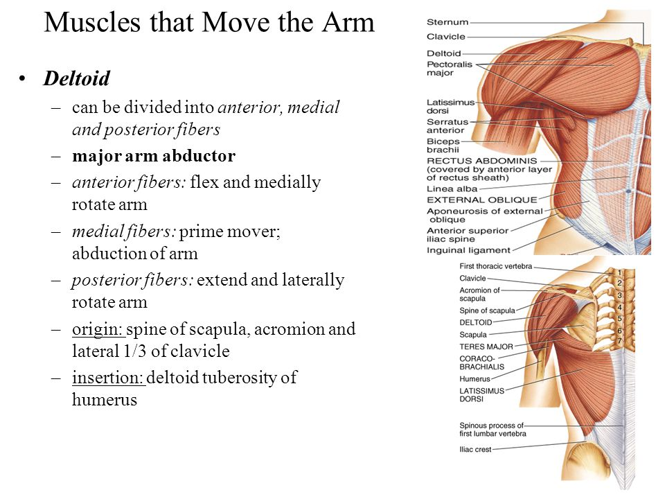 Muscles that Move the Arm Deltoid –can be divided into anterior, medial and posterior fibers –major arm abductor –anterior fibers: flex and medially r