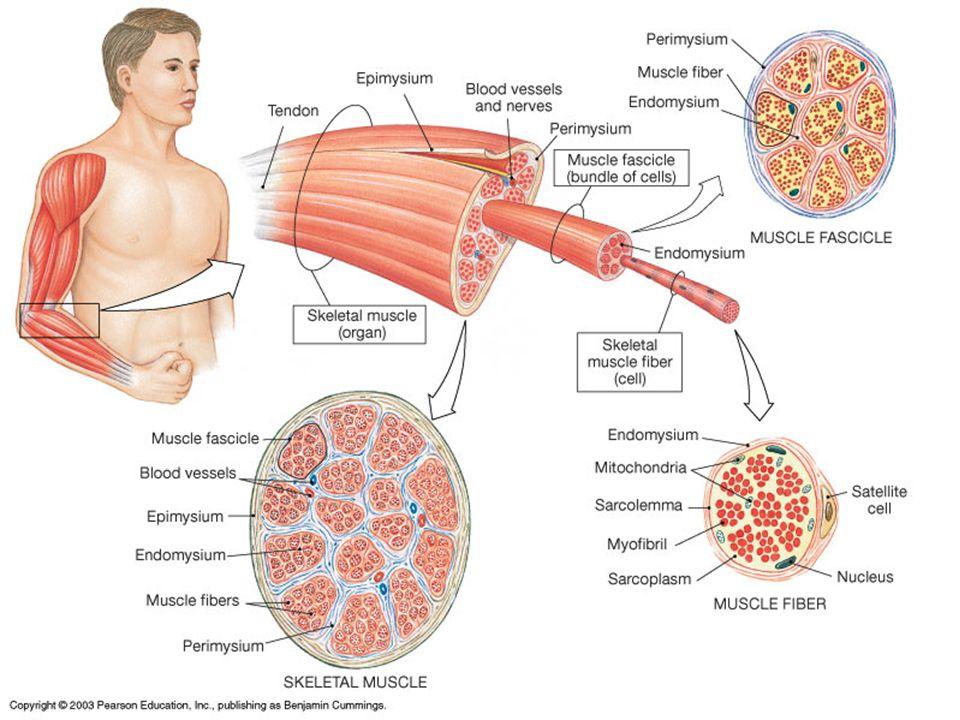 Summary: Muscle Actions at the Hip Joint Abduction: 1.Gluteus medius 2.Gluteus minimus 3.Tensor fascia latae 4.Sartorius Adduction: 1.Adductor longus 2.Adductor brevis 3.Adductor magnus 4.Pectineus Flexion: 1.Iliopsoas 2.3 adductors 3.Pectineus 4.Sartorius 5.Rectus femoris 6.Gracilis Extension: 1.Gluteus maximus 2.Adductor magnus (ham.) 3.Biceps femoris (long head) 4.Semimembranosus 5.Semitendinosus Lateral Rotation: 1.Adductor magnus (hamstring) 2.Gluteus maximus 3.Sartorius 4.2 Obturators 5.2 Gemellars 6.Quadratus femoris 7.Piriformis Medial Rotation: 1.Gluteus medius 2.Gluteus minimus 3.Adductor brevis 4.Tensor fascia latae prime movers in bold