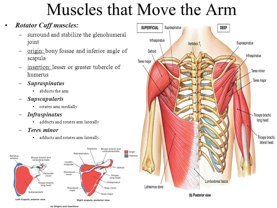 Muscles that Move the Arm Rotator Cuff muscles: –surround and stabilize the glenohumeral joint –origin: bony fossae and inferior angle of scapula –ins