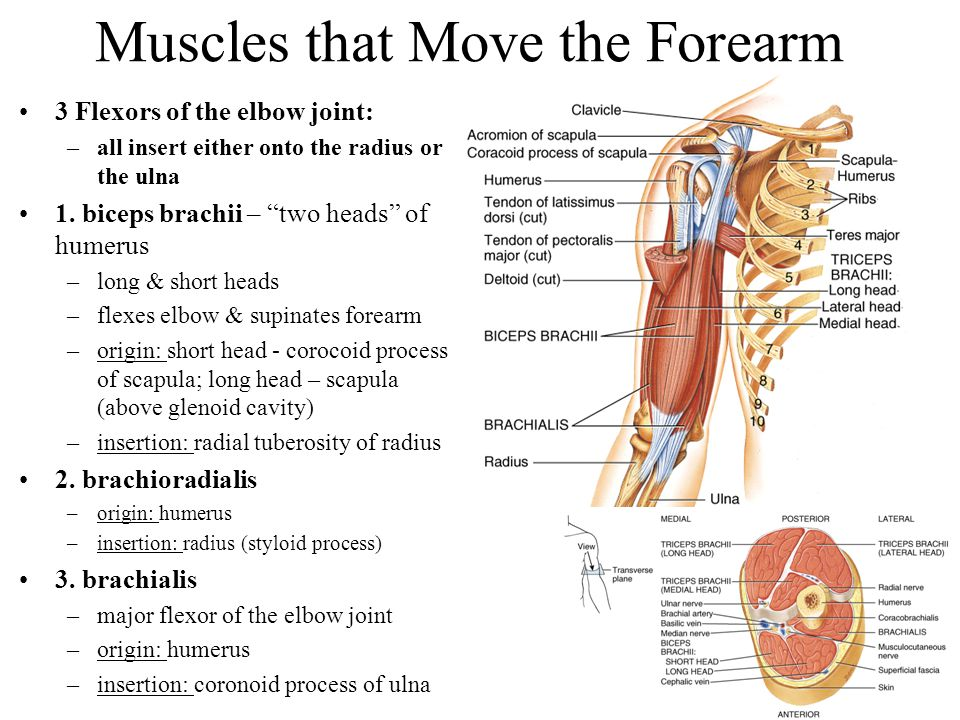 """Muscles that Move the Forearm 3 Flexors of the elbow joint: –all insert either onto the radius or the ulna 1. biceps brachii – """"two heads"""" of humerus"""