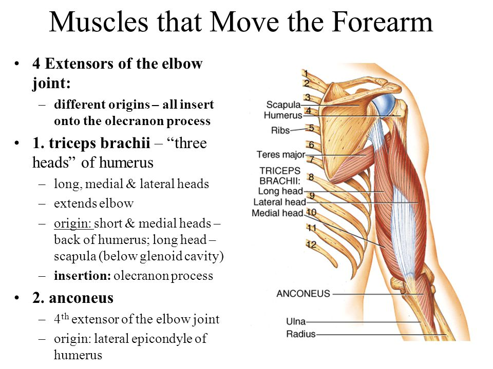 """Muscles that Move the Forearm 4 Extensors of the elbow joint: –different origins – all insert onto the olecranon process 1. triceps brachii – """"three h"""