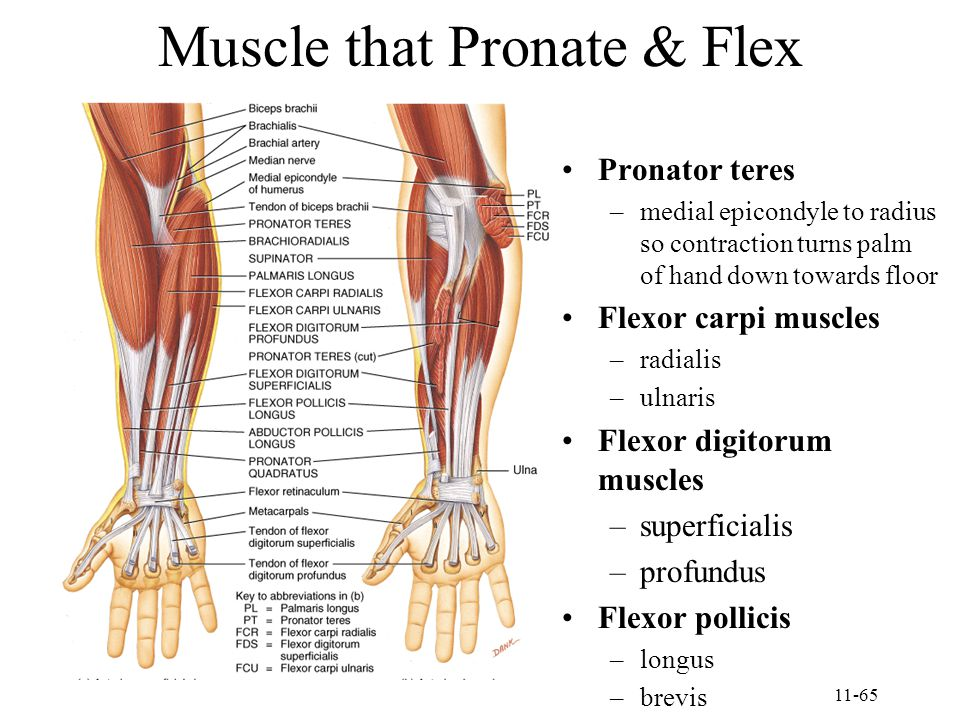 11-65 Muscle that Pronate & Flex Pronator teres –medial epicondyle to radius so contraction turns palm of hand down towards floor Flexor carpi muscles